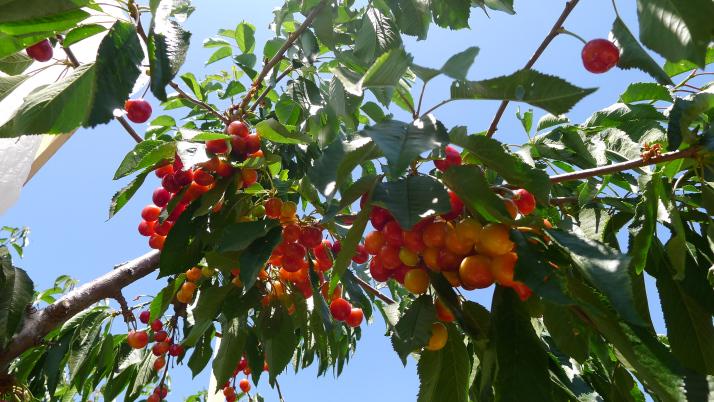 Trái cherry bao nhiêu tiền 1kg?