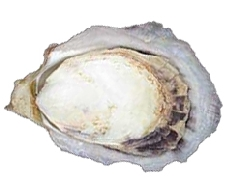 Ostra do Mangue (Crassostrea rhizophorae)