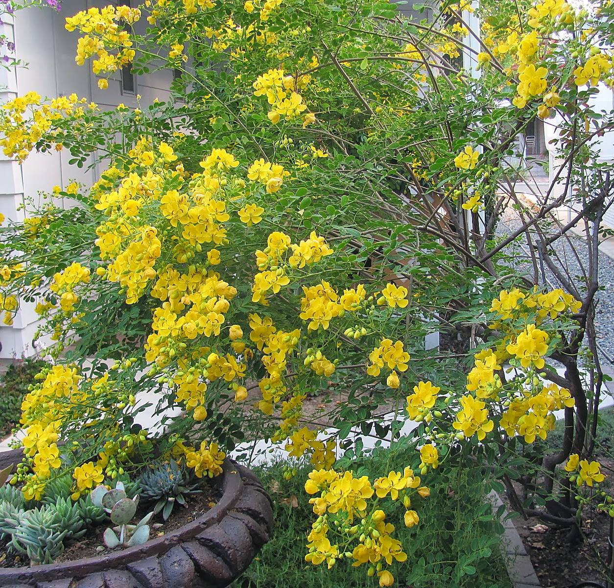 Flamblogger october 2013 the name of the yellow flowering shrubtree that i showed on my last blog it is the cassia fistula or golden rain tree or a variety thereof mightylinksfo