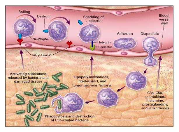 Bio Geo Nerd  Leukocytes and Antibodies