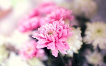 Wallpaper: Pink and White Flowers