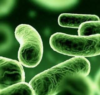 bactéries aérobies