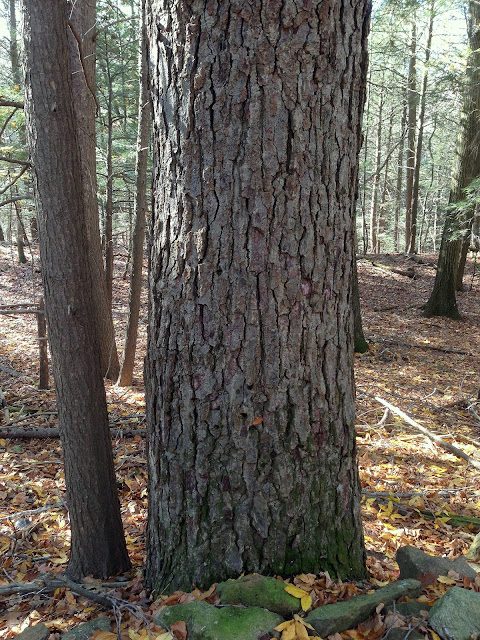 The Cornflake Bark of Very Old Black Birch