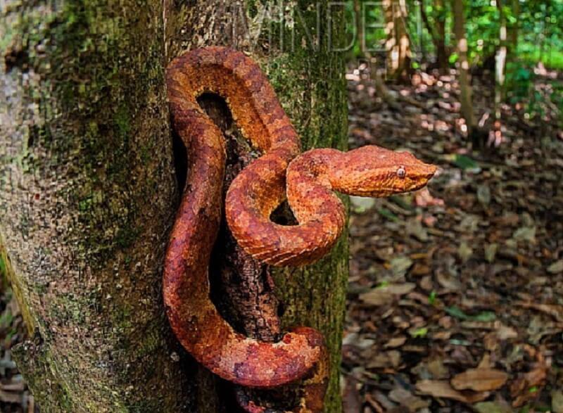 Ular Kapak Borneo
