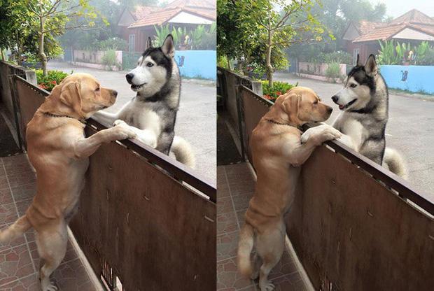 Sau nhiều ngày cô đơn, chú chó husky lao sang nhà hàng xóm, trèo lên hàng rào để ôm chặt anh bạn thân