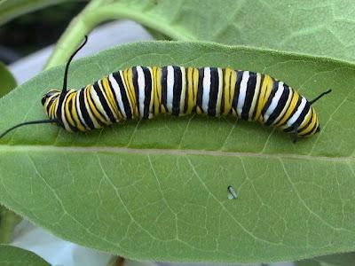 10 อันดับสัตว์, จัดอันดับ, ชีวิตสัตว์, สัตว์มีพิษ, สิบอันดับสัตว์, ดักแด้ผีเสื้อโมนาร์ช Monarch