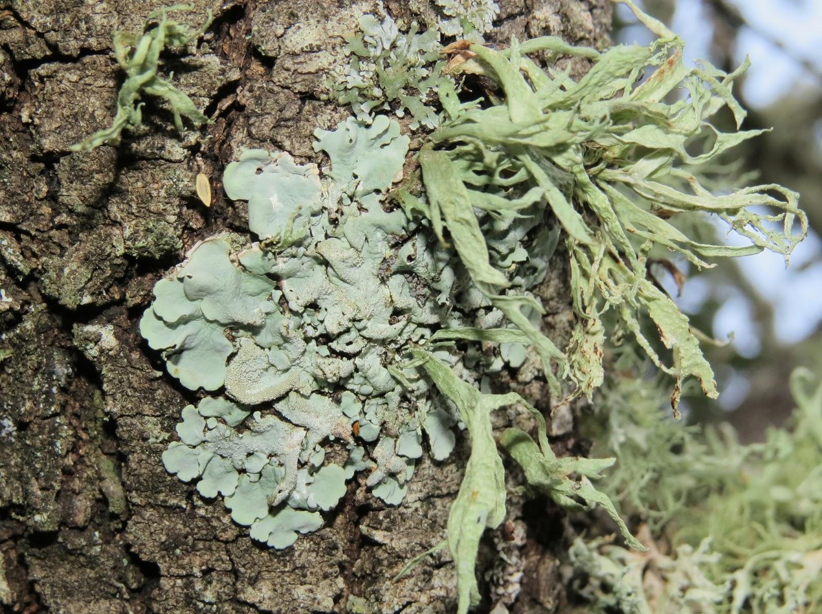 Cernicalo primilla reproduccion asexual de las plantas