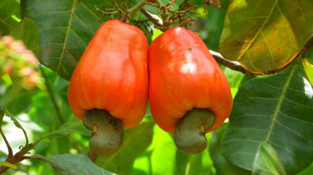 FICHE TECHNIQUE ANACARDE : La culture de la noix de cajou