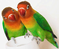 Sepasang Lovebird