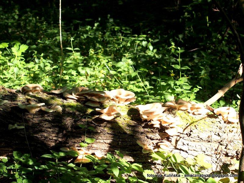 gromada grzybow, kepki, atlas, gatunek grzyba, na grzyby, rozpoznawanie, w lesie lisciastym, puszcza mazowiecka, natolin,