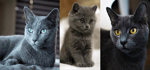 Mavi Rus Kedisi Hakkında Bilgi