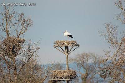Cigüeña en un nido en Aiguamolls de l'Empordà