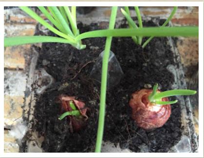 Cara Menanam Bawang Merah di Pot Atau Polybag
