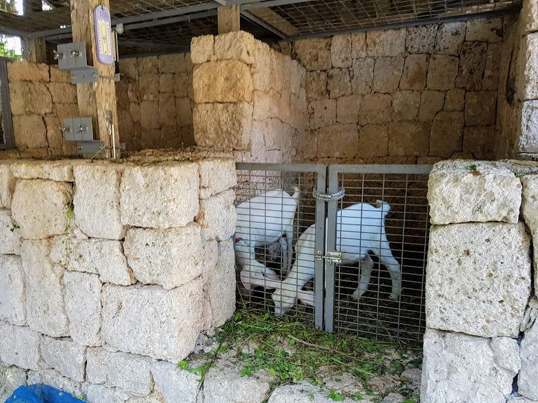 村內養的山羊,好多景點都有養呢