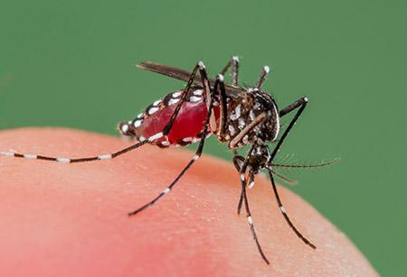 demam denggi, dengue fever, cara atasi demam denggi, nyamuk aedes, pulihkan demam denggi