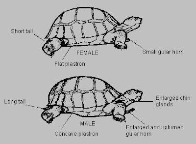 Gambar untuk kenal pasti jantina Kura-kura