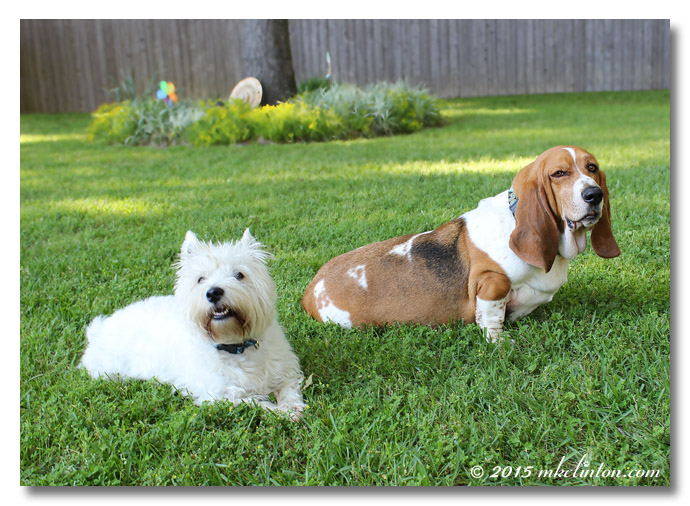 Pierre Westie and Bentley Basset making faces.