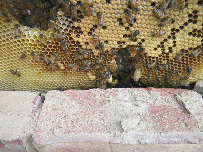 A Honeybee Rescue And Relocation Organization Shares Its Unbelievable Discovery After Removing The Bricks From A Client's House