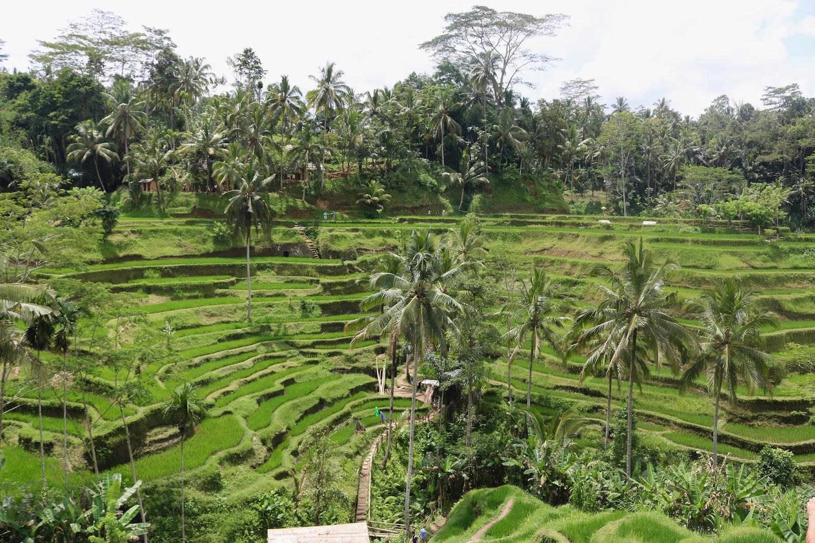 bali tegalalang rice terraces