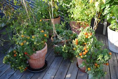 Tomat 'Vilma', körsbärstomat,Tomat 'Minibell', körsbärstomat, cherrytomat
