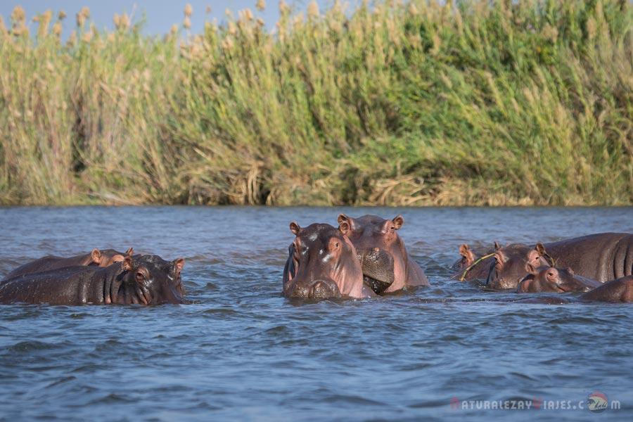 Hipopótamos en Zambezi, Zambia