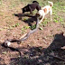 See Hero Dogs Defend Family From Giant King Cobra