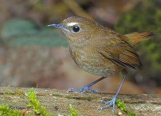 Burung Cingcoang Coklat (Jongkangan)