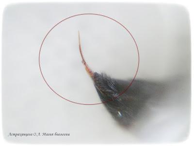 КОАПП_почему кусают насекомые_магия биологии, жало осы сколии