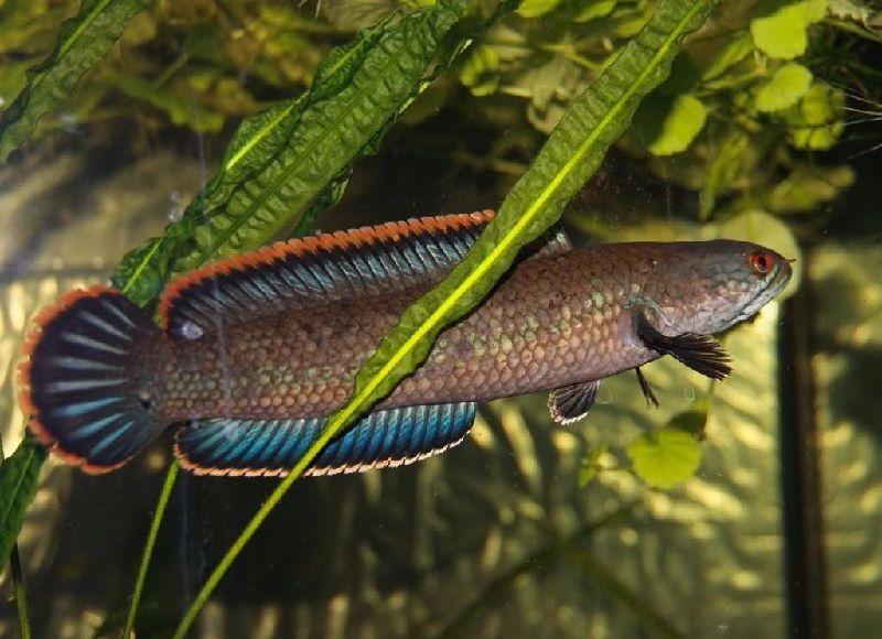 Gambar Ikan Toman