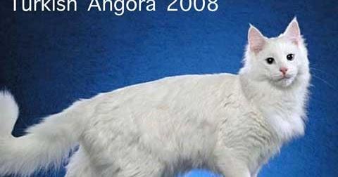 Cat Chit Chat Turkish Angora Vs Persian Cat
