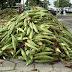 Proibida venda de milho verde em espaços públicos de Juazeiro