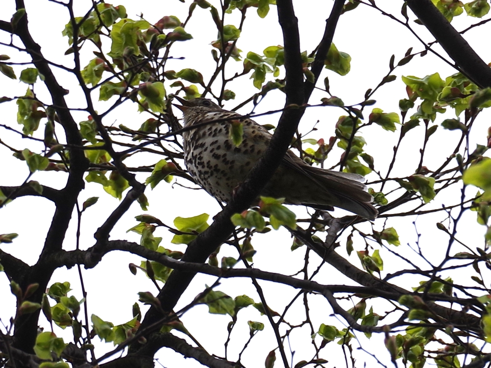 Mistle Thrush - Beside / Shine Away