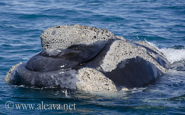 Right whale calluses in Peninsula Valdes Patagonia Argentina