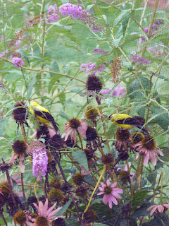 Finches on Purple Coneflowers