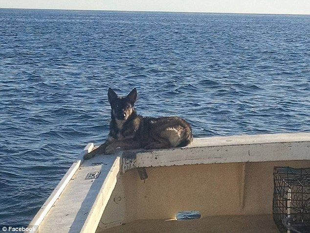 A fisherman's beloved dog that was presumed to be drowned in the Pacific Ocean has been found alive five weeks after falling overboard his boat.