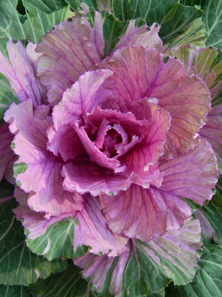 Purple ornamental cabbage Allan Gardens Conservatory Christmas Flower Show 2014 by garden muses-not another Toronto gardening blog
