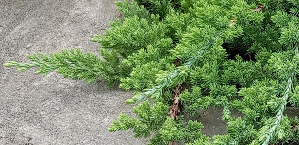 ต้นสนเลื้อยไปตามพื้น