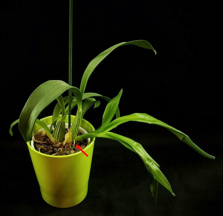 korzenie storczyka