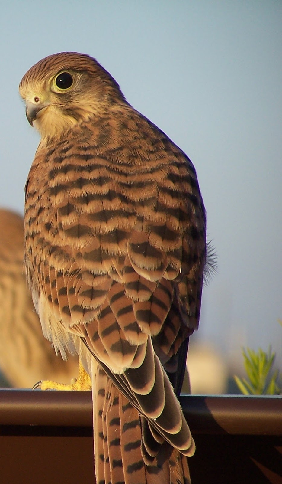 A close shot of the beautiful kestrel bird as viewed from behind.