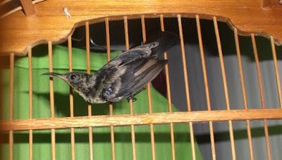Trik Dan Cara Ampuh Memilih Burung Kolibri Ninja Trotol Yang Masih Bakalan