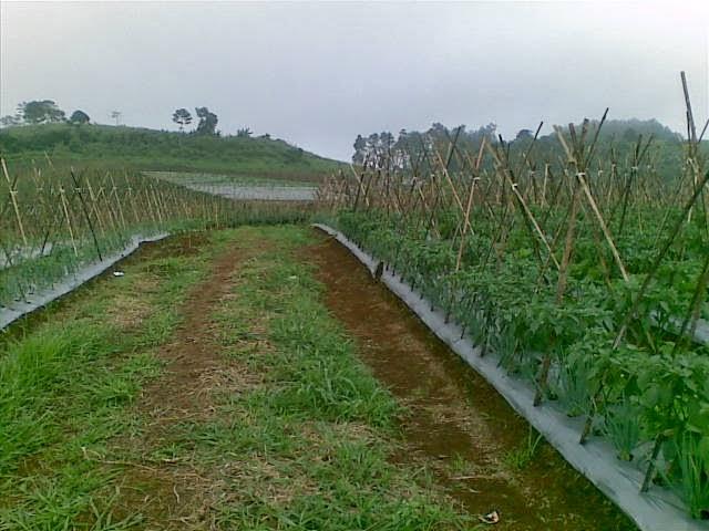 Foto(5211) Jual Tanah Milik | Kebun 23 Ha, Lokasi Puncak jual tanah di puncak