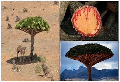 Kanlı Tahta Ağacı