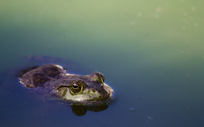 frog in water widescreen resolution hd wallpaper