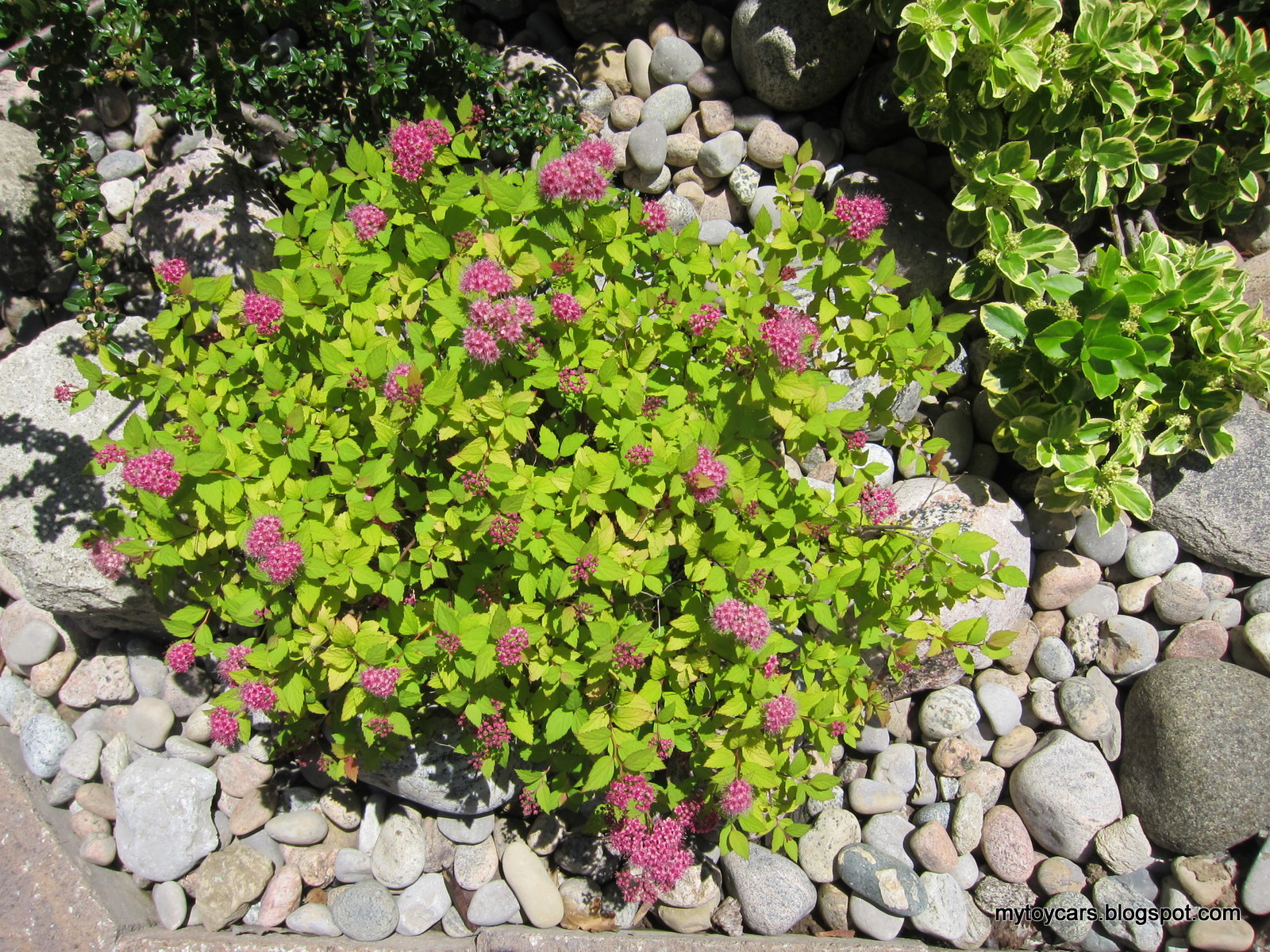plants in the garden: Spirea
