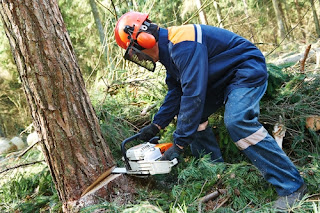 Logger felling a tree