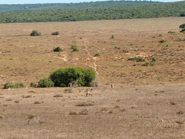 Jackals in Addo Elephant National Park, South Africa