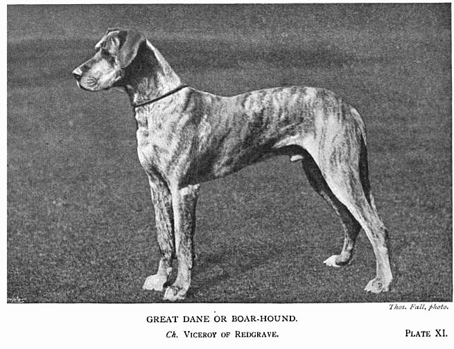 Pedigree Dogs Exposed - The Blog: The demise of the Great Dane