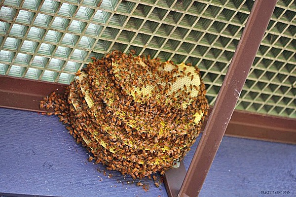 Panales con abejas en balcón - Honeycombs with bees on balcony.