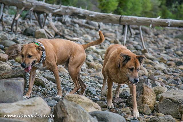 Dogs on the beach in Acadia National Park, Mount Desert Island, Maine