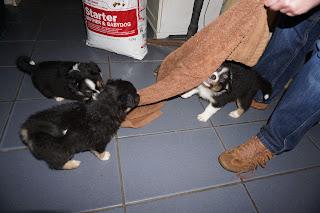 Cachorros Pastor Australiano - as brincadeiras